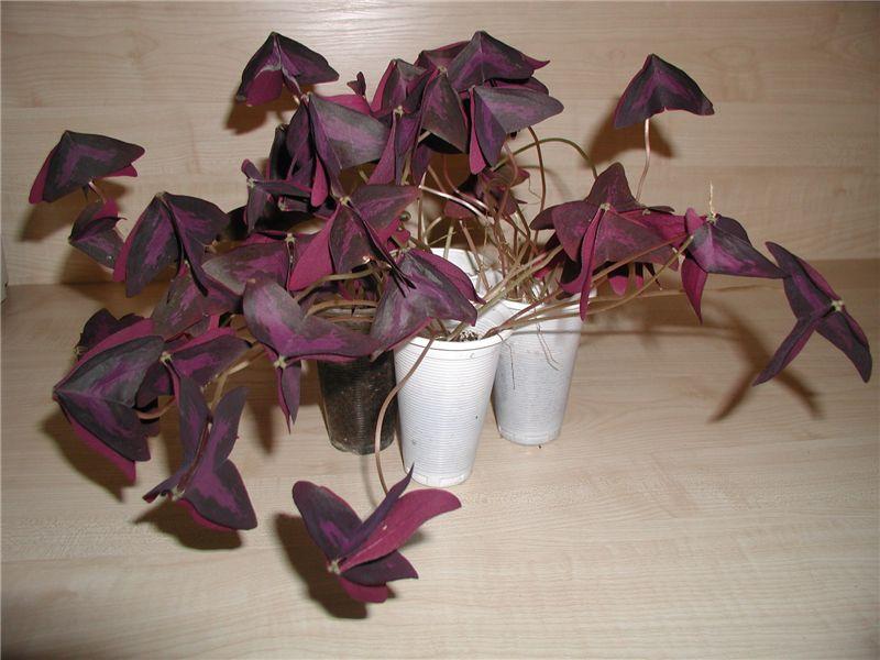 Комнатные цветы листья бордовые
